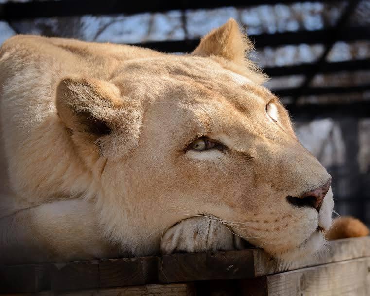 sheila_lion18