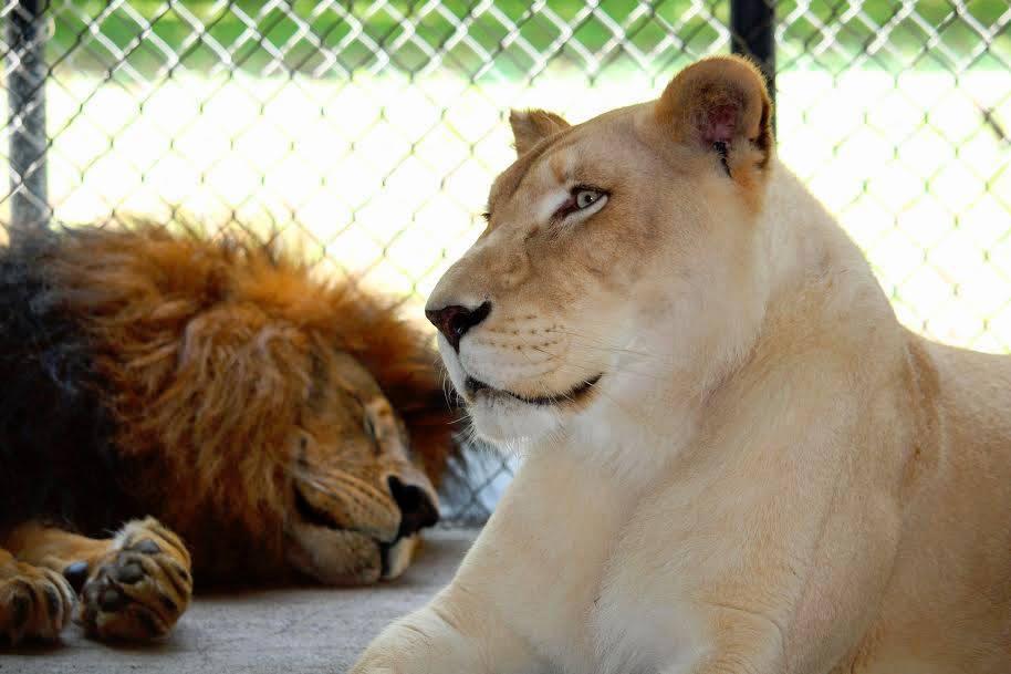 sheila_lion2 (1)