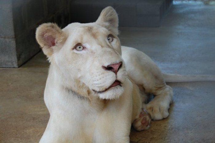 sheila_lion4