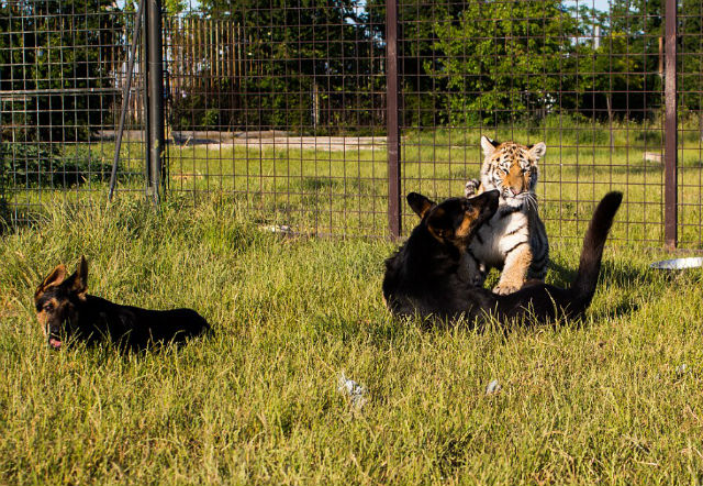 cub-and-dogs-playing