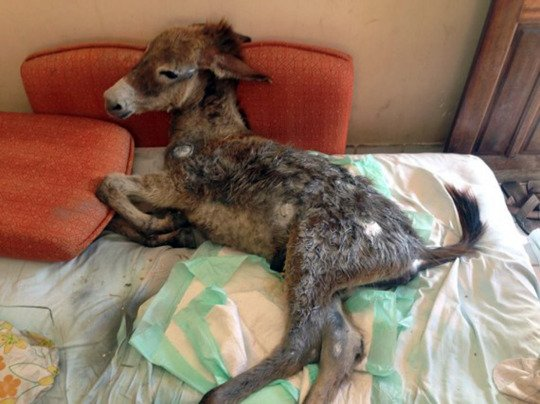 Pic shows: Gerreirinho, the four-month-old donkey which was hit by a car and left to die by the side of the road has been nursed back to health. A four-month-old donkey which was hit by a car and left to die by the side of the road has been nursed back to health by the companionship of a little puppy. The unusual pair bonded after the foal was diagnosed with three broken legs and taken into her home by caring Zenith Gurgel. She has been feeding the young donkey by hand and called him Guerreirinho, little warrior, after her puppy, which she also rescued from the streets, became best of friends with the badly injured animal. The pup refuses to leave the donkey who cannot walk and spends all day lying by it's side and cuddling and resting it's tiny head on the foal's nose. The heart warming scenes have been recorded on video and have been a big hit on social media in the city of Fortaleza, in the east Brazilian state of Ceara. The publicity on Facebook has also helped Zenith raise enough money needed for Guerreirinho to have an operation and get back on his hooves again. (ends)