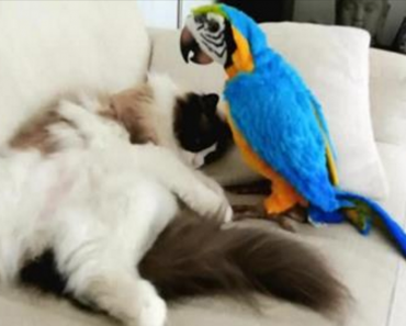 Ragdoll cat and parrot