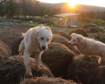 guard dog bale jumping