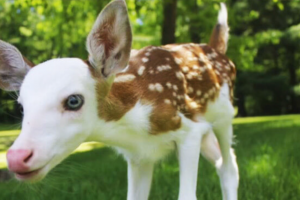 white faced fawn