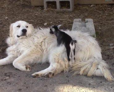 Dog Babysitting Baby Goats