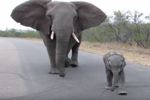 mother elephant protects baby