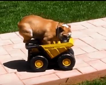bulldog rides truck