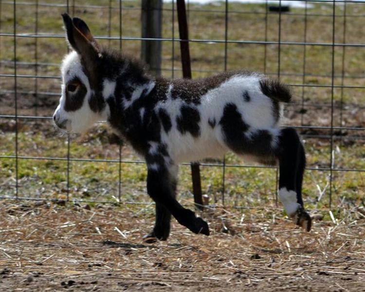 cute miniature donkeys