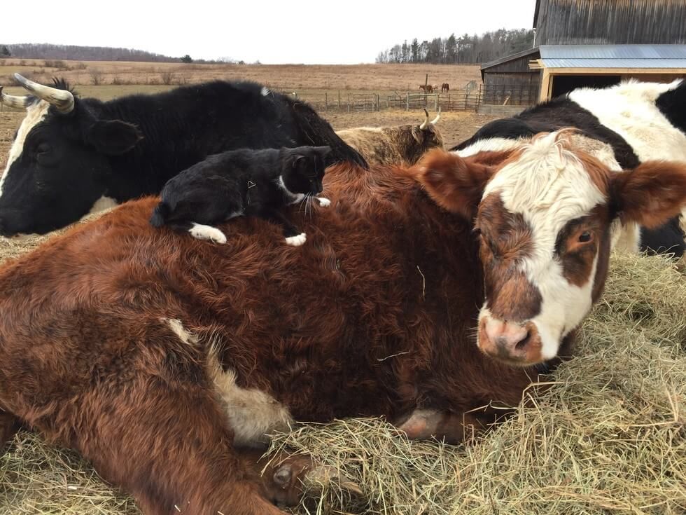 kitten cow