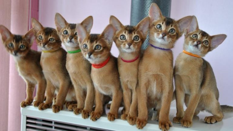 Rare Cat Breeds Most Pet Owners Don't Even Realize Exist
