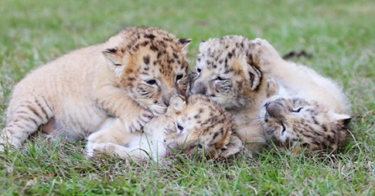"""See The ONLY Known White """"Liger"""" Cubs, And They Are Adorable!  White Liger Cubs"""