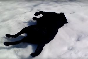 black lab snow