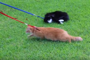 cat leashes