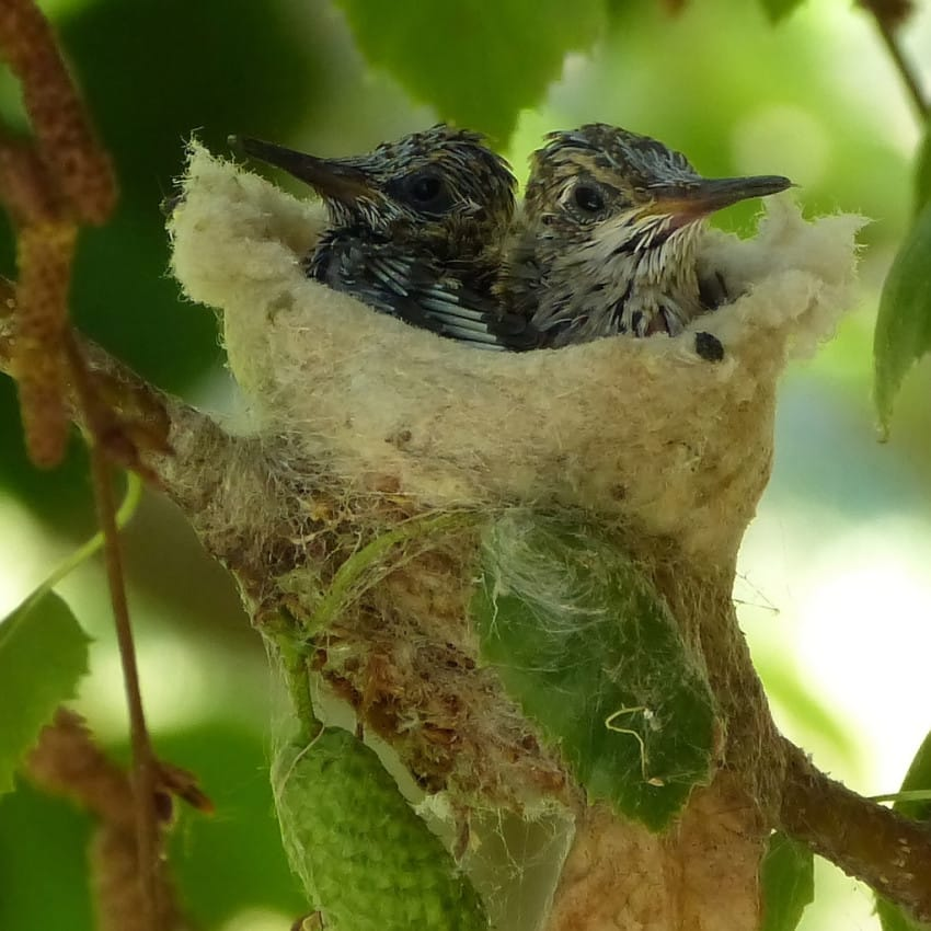 La USFWA pide a las personas que revisen cuidadosamente los huevos de colibrí antes de la poda de primavera