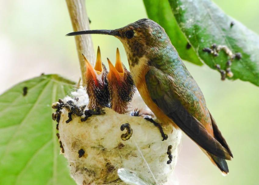 Bee Hummingbird Facts, Hábitat, Dieta, Ciclo de Vida, Bebé, Cuadros