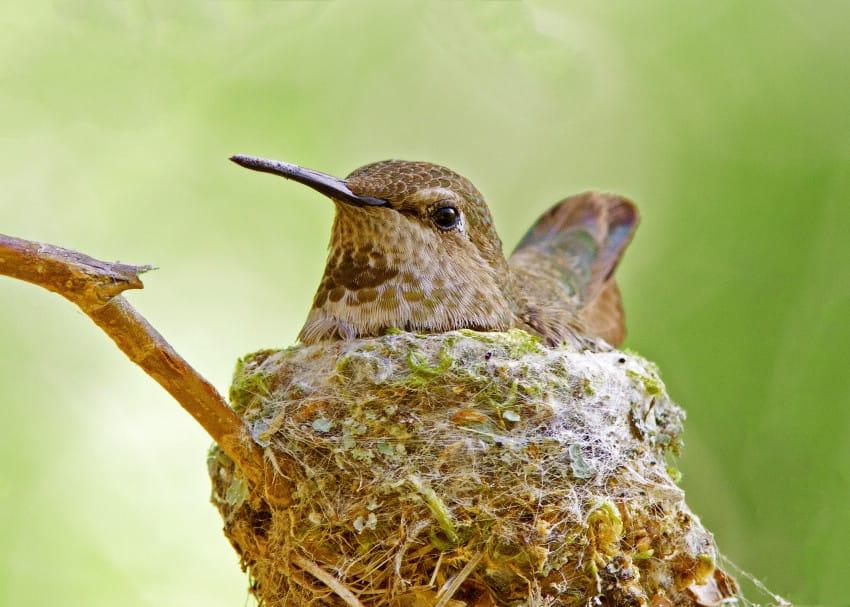 Calliope Colibrí - | Aves de América del Norte en línea