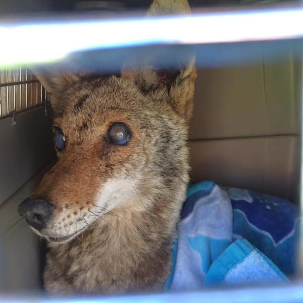 injured coyote rescue