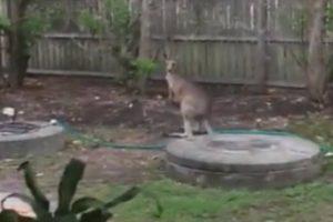 kangaroo garden fence