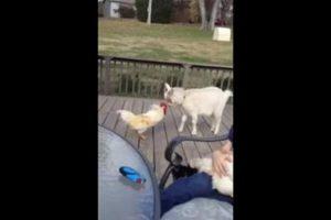 rooster vs goat