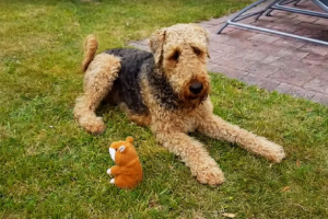 terrier dog and talking toy