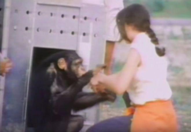 chimpanzee caretaker reunion