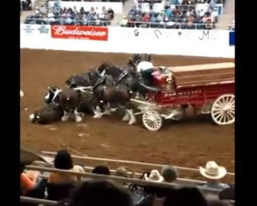 clydesdale mishap