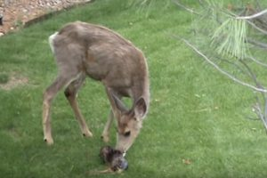 deer giving birth
