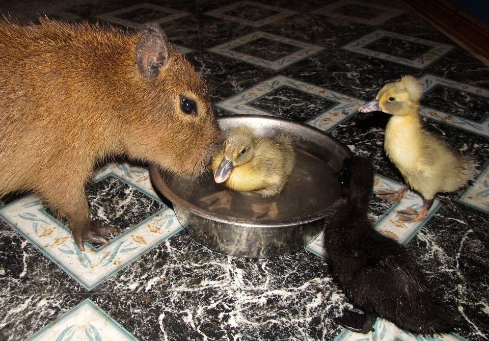capybara is introduced to other animals at sanctuary they