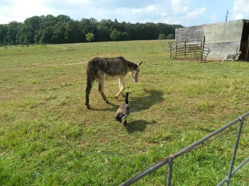 rescued donkey