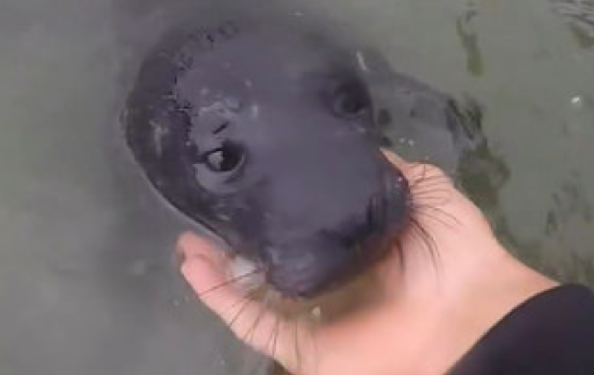 baby seal rescue