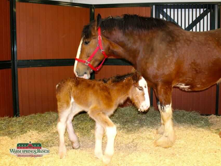 clydesdale pony