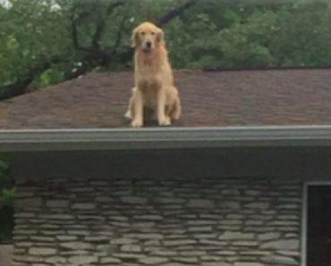golden retriever on roof