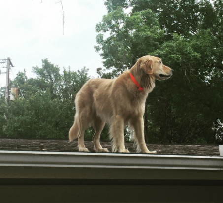 golden retriever on roof