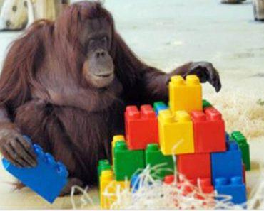 orangutan playing lego