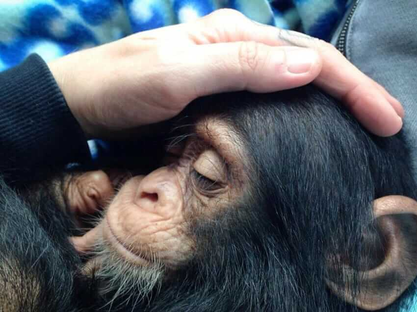 rescued baby chimp