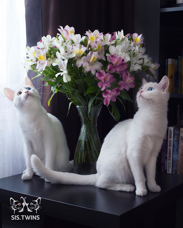 twin cat