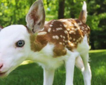 rare white-faced fawn