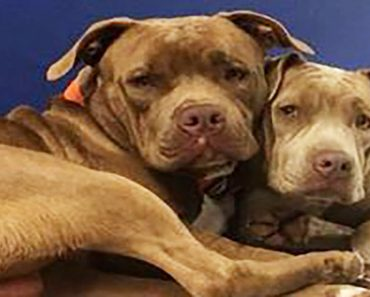 Bonded pit bulls