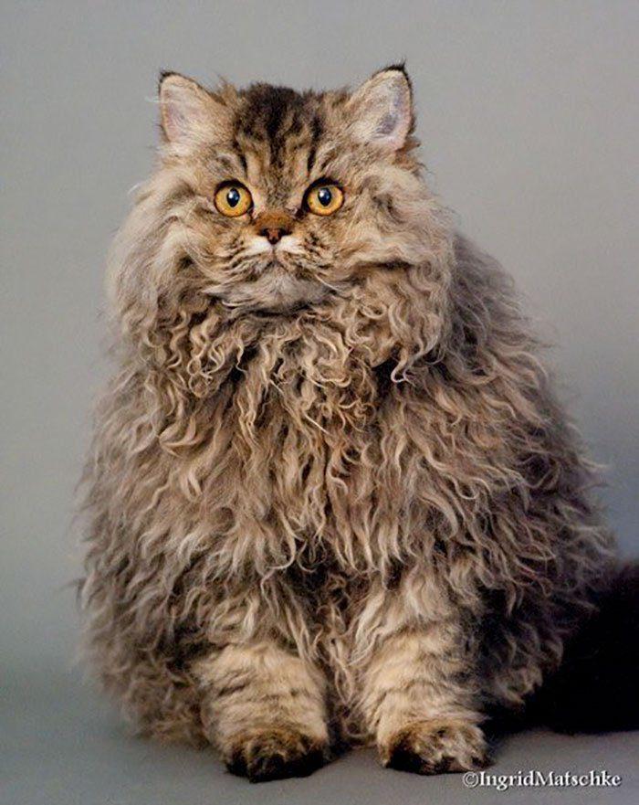 Selkirk Rex cats