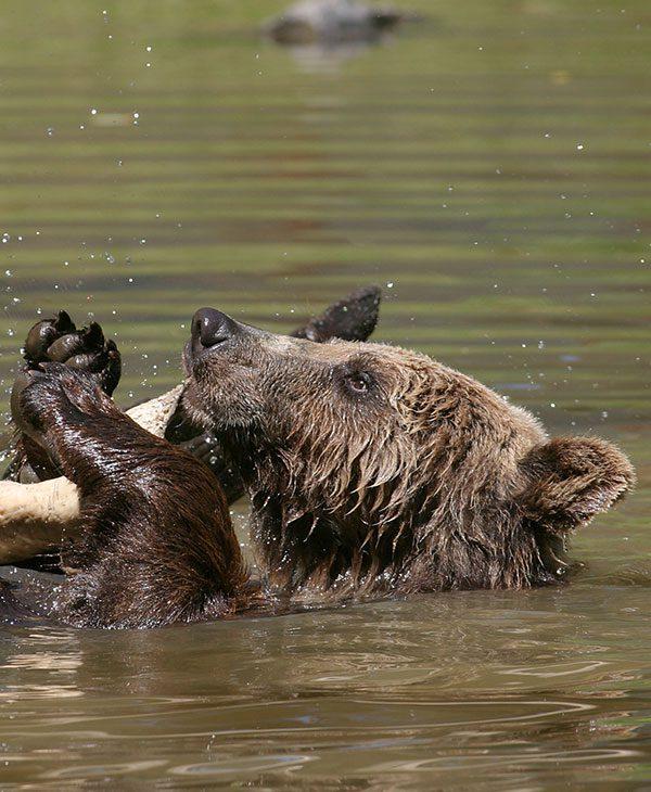 giant brown bear