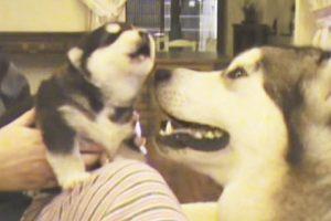 howl dog