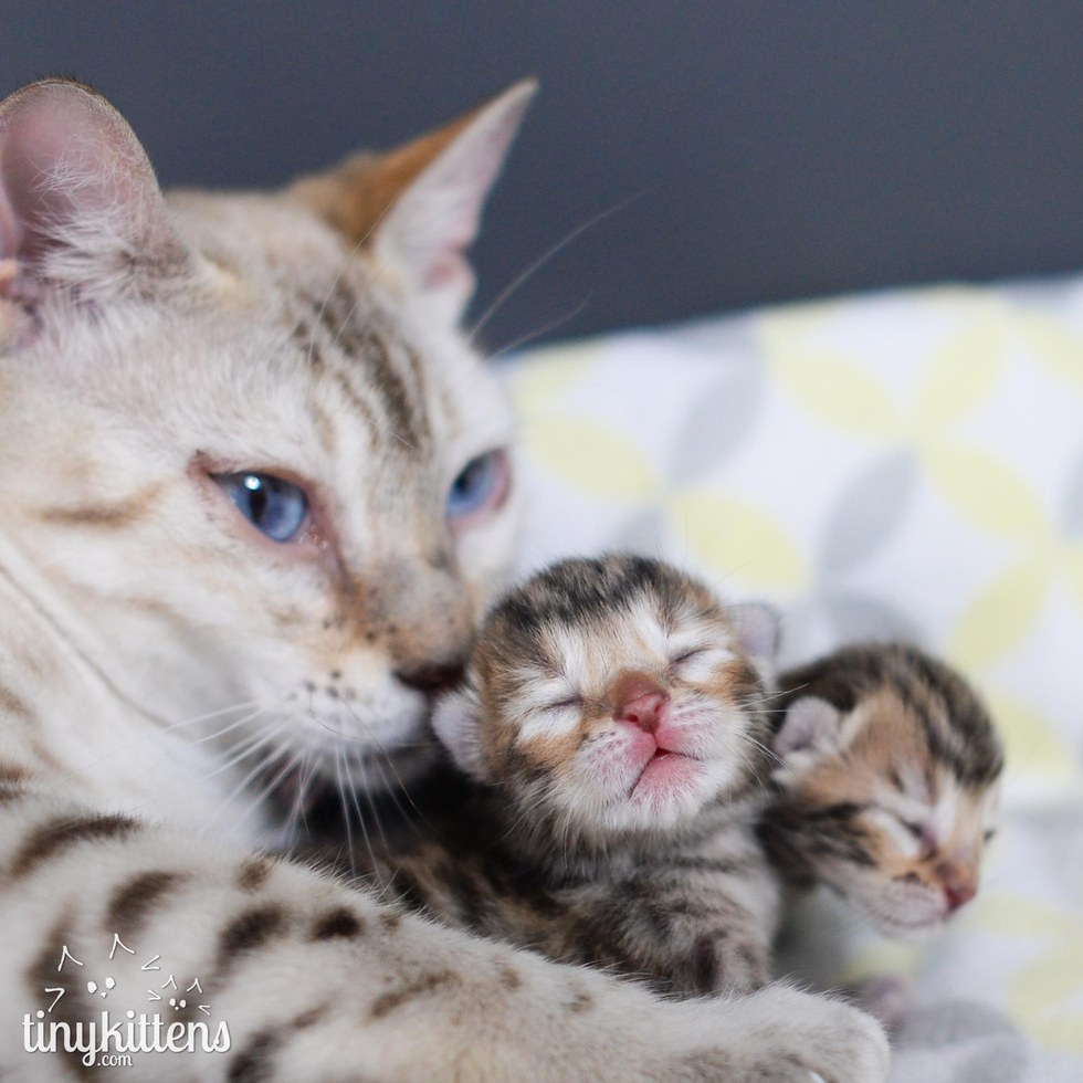 snow bengal mother cat