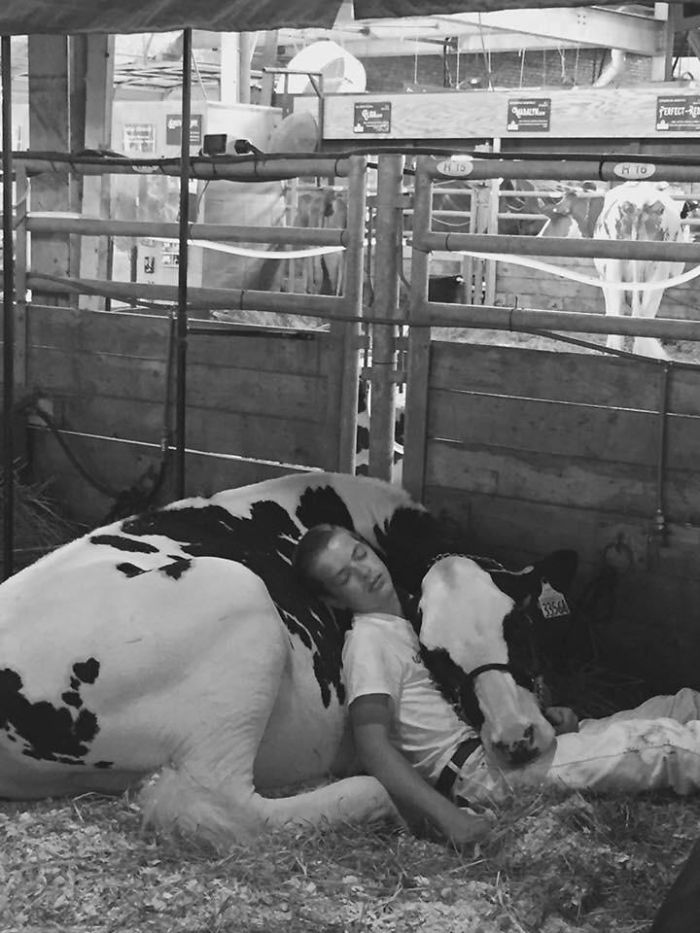 teen naps with cow