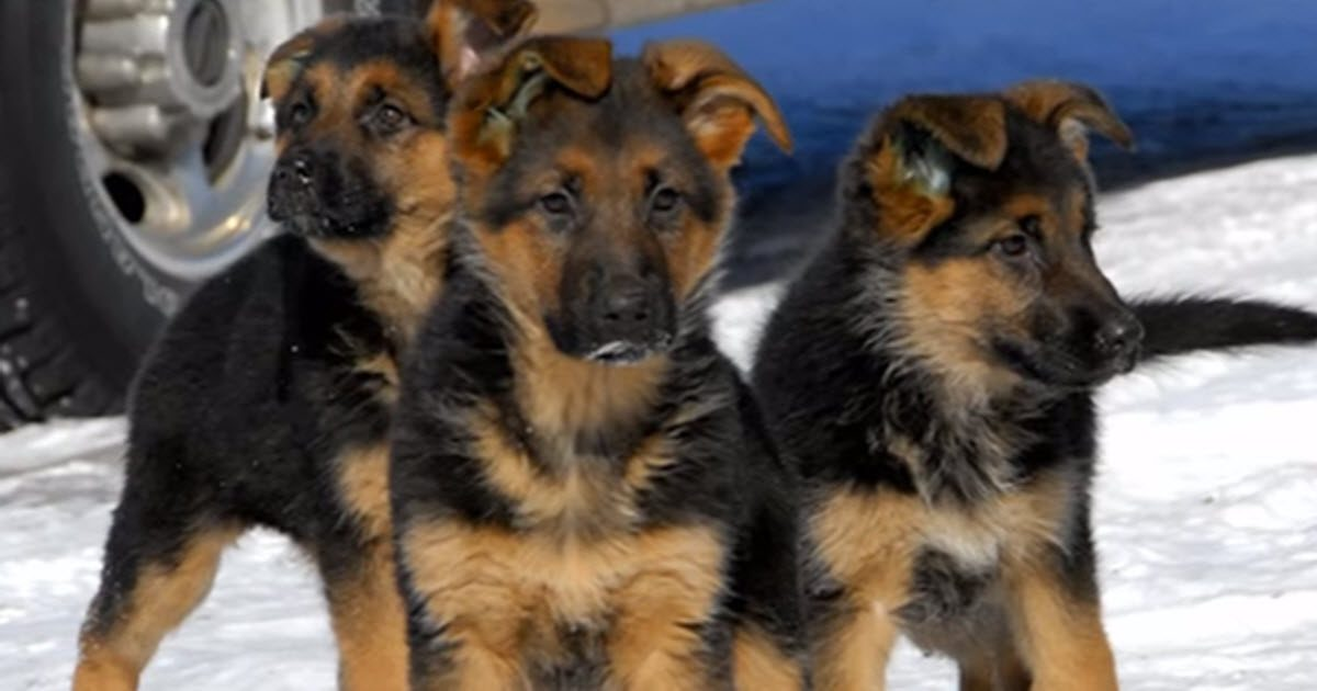 World's Top 10 Cutest Dog Breeds
