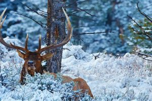 Bull Elk in Snow