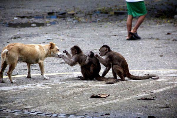 funny monkey flea picking