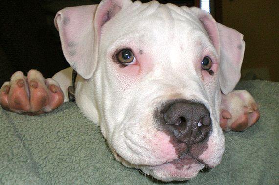 deaf pit bull