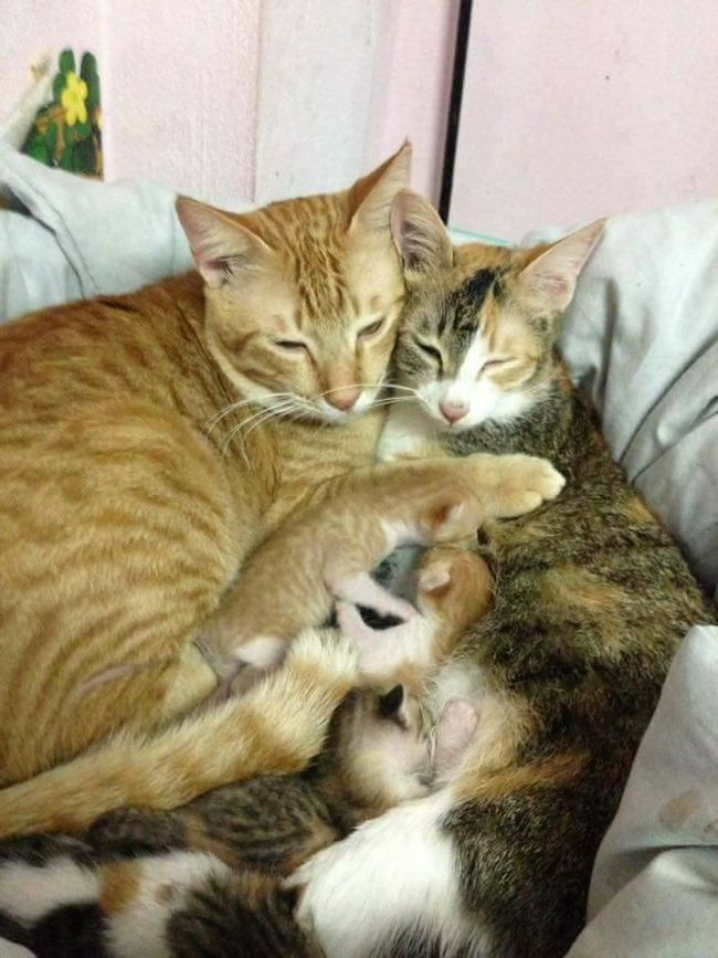 father cat helps with birth