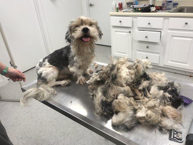 shih tzu matted fur