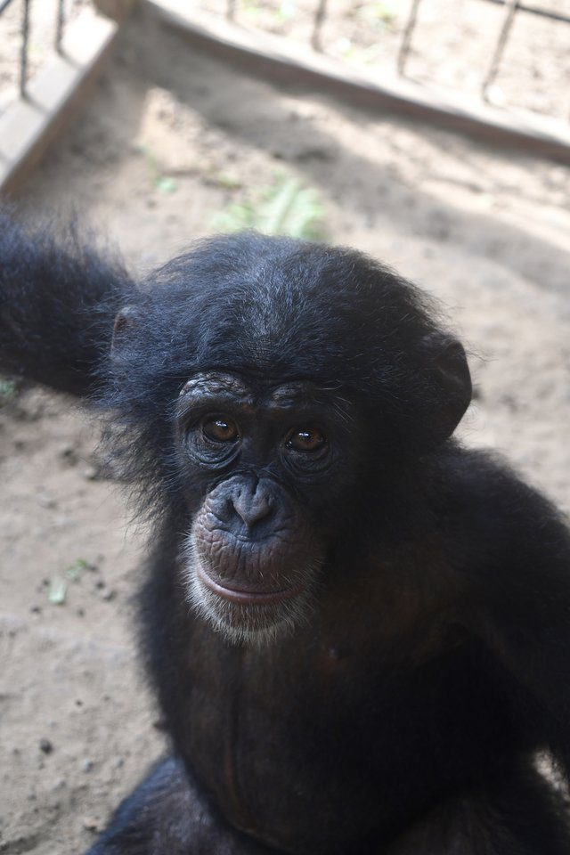 Orphaned Baby Chimp Found With Chain Around Her Neck Gets